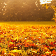 autumn leaves golden leaf outdoors park season seasonal