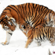 tiger siberian tiger tiger baby young animal family boy young
