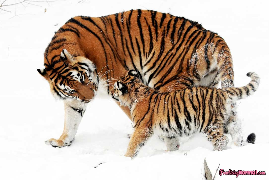 Another definition of a Tiger Mom from Practicingnormal.com