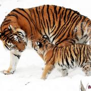 tiger siberian tiger tiger baby young animal family boy young